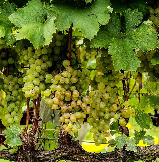 viognier-grapes-188185_640